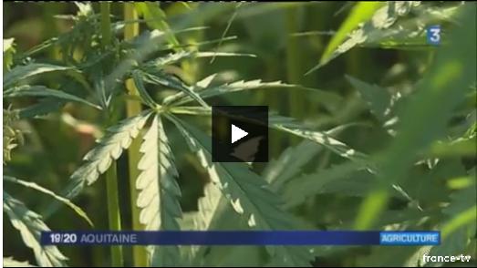 JT de France 3 Aquitaine :Le chanvre, une plante d'avenir pour les agriculteurs du sud-ouest